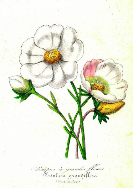 1855 Photograph - Portulaca Grandiflora by Collection Abecasis/science Photo Library