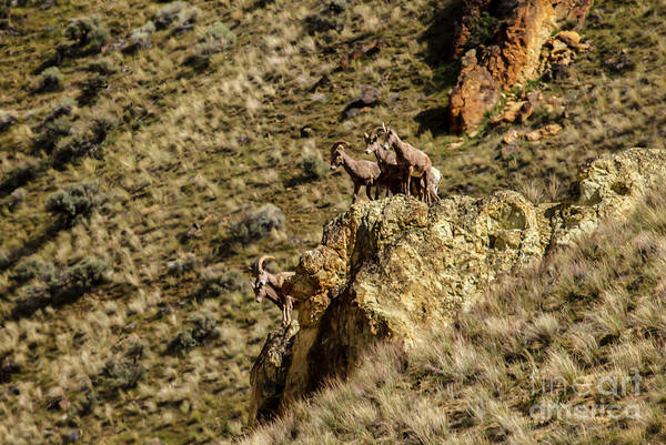 Goat Rocks Wilderness Wall Art - Photograph - Posing Bighorn Sheep by Robert Bales