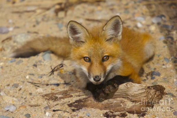 Photograph - Posing Fox Pup by Amazing Jules