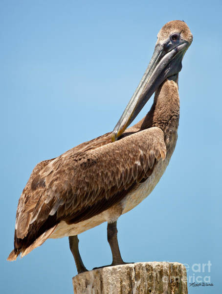 Wall Art - Photograph - Posing Pelican by Michelle Constantine