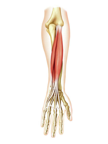 Hand Anatomy Wall Art - Photograph - Posterior Muscles Of Forearm by Asklepios Medical Atlas