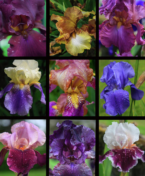 Burgundy Photograph - Posters Of Irises Shot In Aquitaine by Mallorie Ostrowitz
