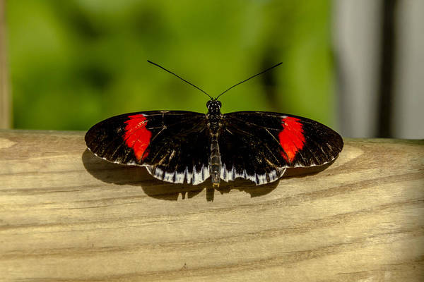 Photograph - Postman Black And Red Butterfly by Teri Virbickis