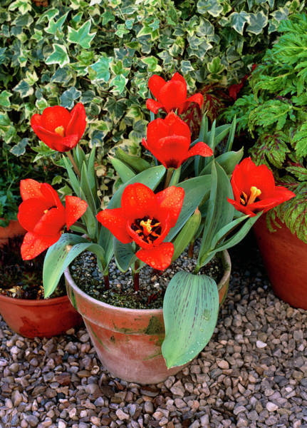 Horticulture Photograph - Pot Of Tulips by Geoff Kidd/science Photo Library