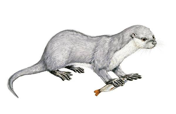 Weasel Wall Art - Photograph - Potamotherium by Michael Long/science Photo Library