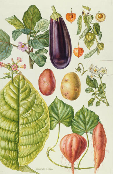 Tubers Photograph - Potato, Aubergine, Tobacco And Winter Cherry Wc by Elizabeth Rice