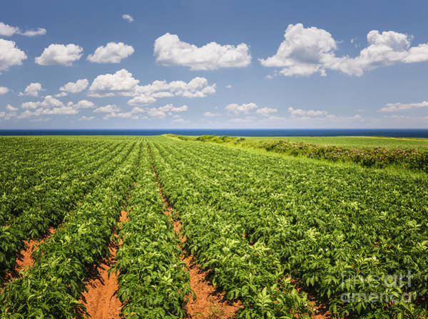 Row Crops Photograph - Potato Field In Prince Edward Island by Elena Elisseeva