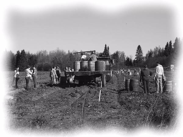 Aroostook County Photograph - Potato Harvest 3 by Gene Cyr