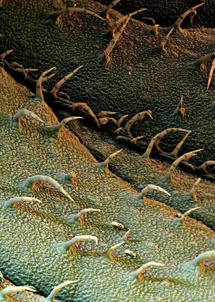Potato Photograph - Potato Leaf Trichomes by Stefan Diller