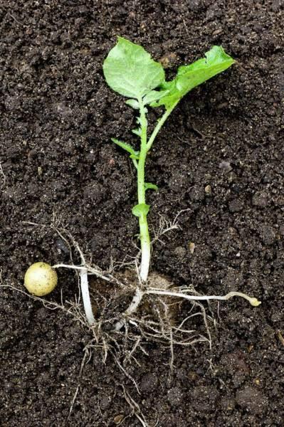 Potato Photograph - Potato Plant (solanum Tuberosum) by Dr Jeremy Burgess
