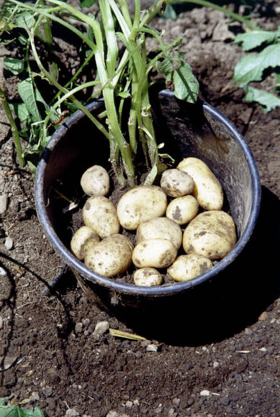 Bucket Photograph - Potatoes Grown In Bucket by Anthony Sweeting/science Photo Library