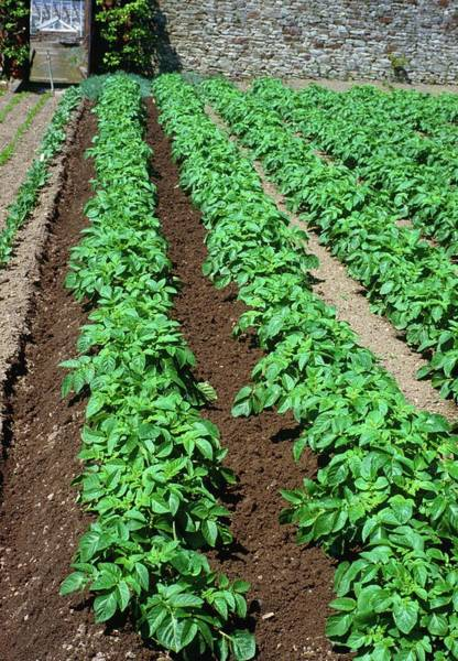 Row Crops Photograph - Potatoes In Growing Rows by Irene Windridge/science Photo Library