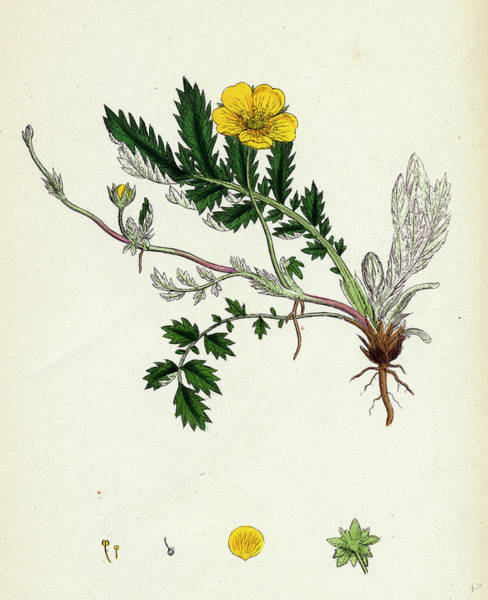 Weeds Drawing - Potentilla Anserina Silver-weed by English School