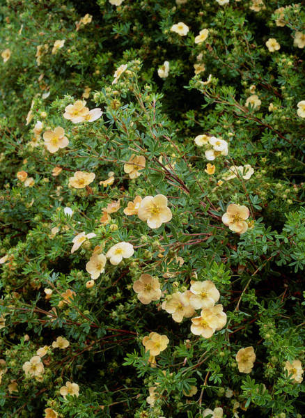 Horticulture Photograph - Potentilla Fruticosa 'daydawn' by Geoff Kidd/science Photo Library