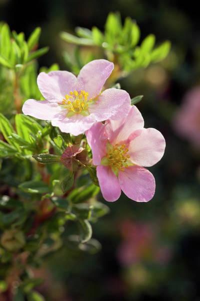 Wall Art - Photograph - Potentilla Fruticosa 'pink Beauty' Flower by Geoff Kidd/science Photo Library