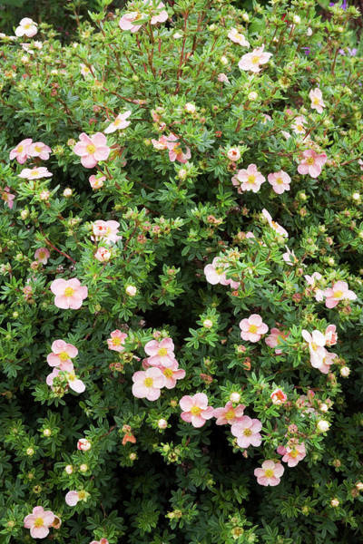 Cinquefoil Photograph - Potentilla 'grace Darling' Flowers by Geoff Kidd/science Photo Library