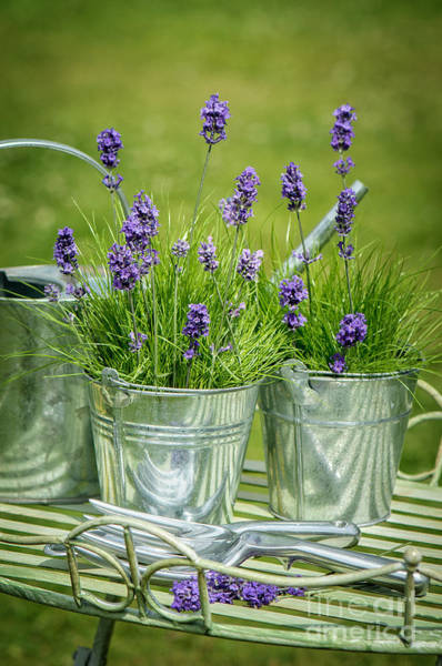 Metal Furniture Photograph - Pots Of Lavender by Amanda Elwell