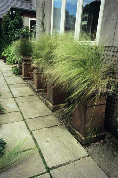 Ornamental Grass Photograph - Potted Grass (stipa Tenuissima) by Adrian Thomas/science Photo Library
