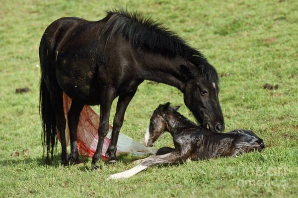Photograph - Pottok Horse Mare And Newborn Foal by Jean-Paul Ferrero