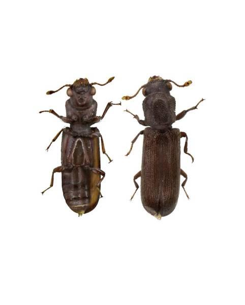 Arthropods Wall Art - Photograph - Powder Post Beetle by F. Martinez Clavel