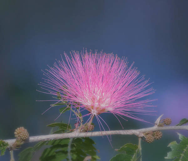 Photograph - Powder Puff Blossom by Kim Hojnacki