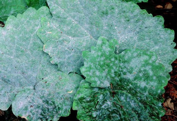 Wall Art - Photograph - Powdery Mildew On Annual Honesty Leaves by Anthony Cooper/science Photo Library