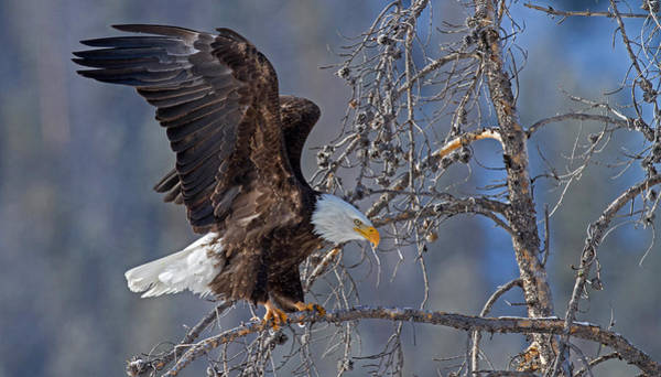 Haliaeetus Leucocephalus Photograph - Power And Grace by Sandy Sisti