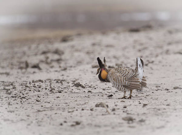 Photograph - Prairie Chicken 2013-1  by Thomas Young