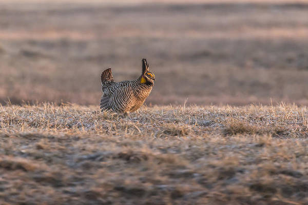 Photograph - Prairie Chicken 2013-10 by Thomas Young