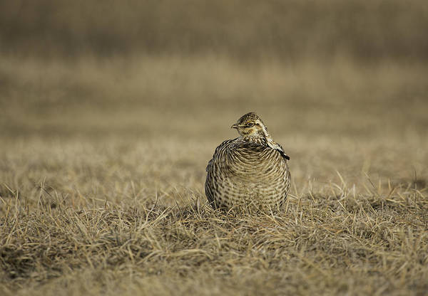 Photograph - Prairie Chicken 2013-5 by Thomas Young