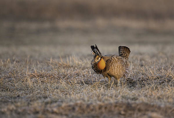 Photograph - Prairie Chicken-8 by Thomas Young