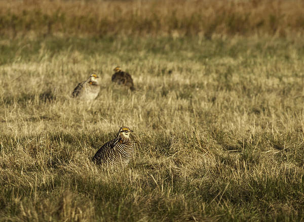 Photograph - Prairie Chickens After The Boom by Thomas Young