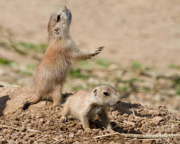 Photograph - Prairie Dog Alarm by Chris Scroggins