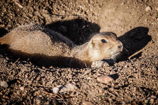 Photograph - Prairie Dog by Karen Saunders