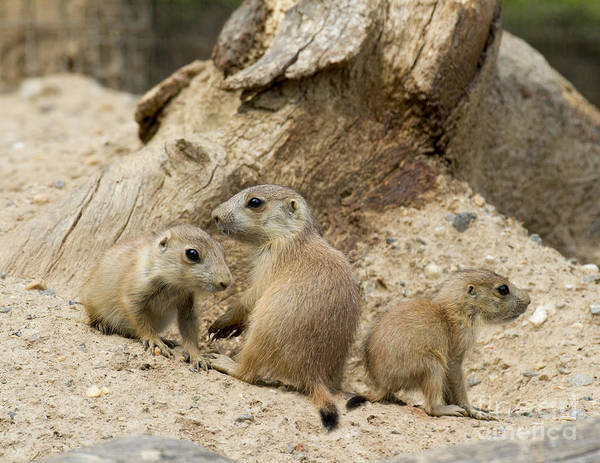 Photograph - Prairie Dog Pups by Chris Scroggins