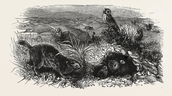 Trinidad Drawing - Prairie Dogs And Owls, Buenos Ayres by South American School