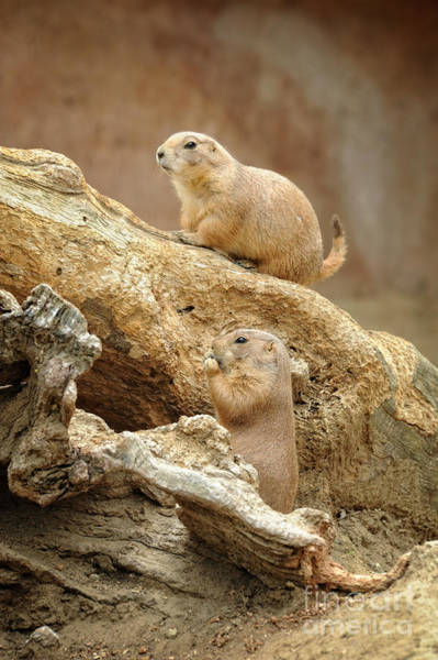 Wall Art - Photograph - Prairie Dogs by HD Connelly