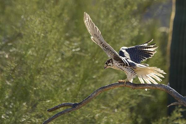 Prairie Falcon   Falco Mexicanus Art Print