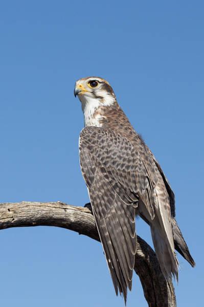 Prairie Falcon At Rest Art Print