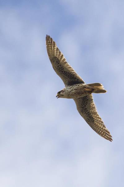 Prairie Falcon Fly-by Art Print