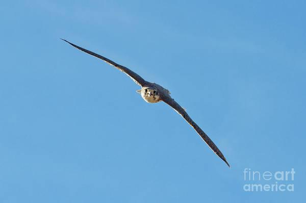 Prairie Falcon In A Dive Art Print