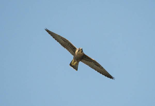 Photograph - Peregrine Falcon In Flight by Loree Johnson