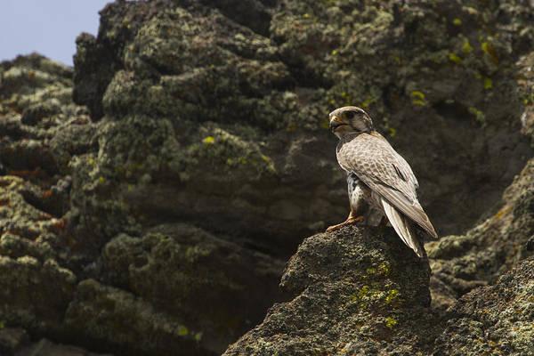 Prairie Falcon Looks East Art Print