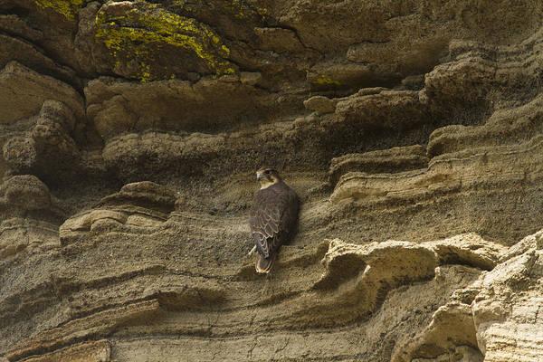 Prairie Falcon Perched On Cliff Art Print