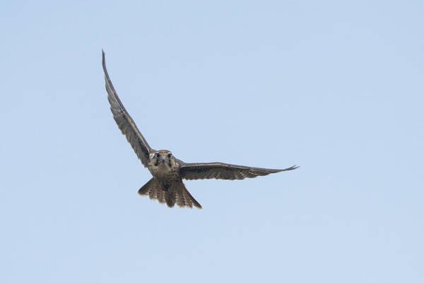 Prairie Falcon Soaring Art Print