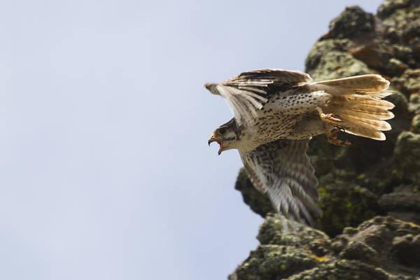 Prairie Falcon Taking Flight Art Print