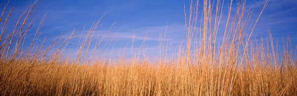 Hearties Photograph - Prairie Grass, Blue Sky, Marion County by Panoramic Images