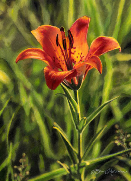 Drawing - Prairie Lily by Bruce Morrison