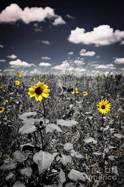 Flowering Plants Photograph - Prairie Sunflowers  by Elena Elisseeva