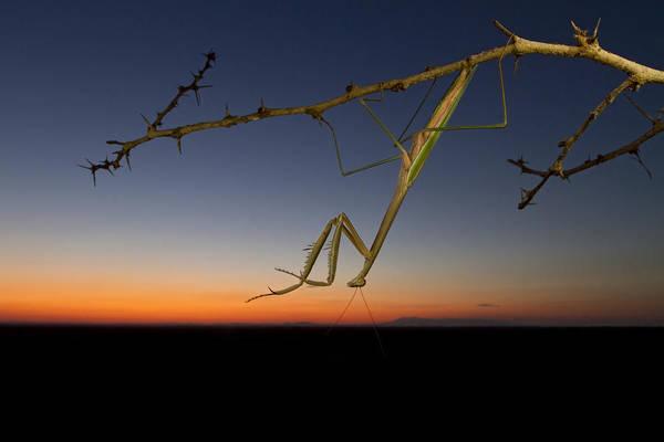 Photograph - Praying Grass Mantis At Sunset by Piotr Naskrecki